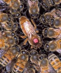 Honey-bee-queen-00